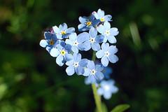 Forglem-meg-ei (Susanne Stee) Tags: blomster flower flowers blomst nature spring springtime blue oslo norway norge visitnorway