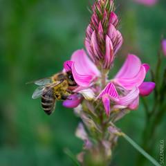 Abeilles et co (solennegau) Tags: insectes nikon d3400 nature fleurs montagne couleur couleurs animal macro plante fleur abeille insecte