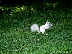 Albino Gray Squirrel (Picsnapper1212) Tags: albino graysquirrel pinkeyes mammal animal nature armcopark warrencounty ohio squirrel white