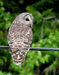 Barred Owl ~ 5 (diffuse) Tags: owl barredowl ptarmigancreek britishcolumbia highway16 bird cable wire forest cedars poplar