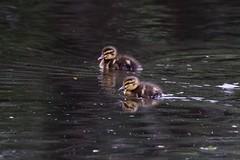 2 Mallard Ducklings (georgehart64) Tags: fauna mallardduckling duckling pond bokeh smallbird bird duck scotland aberdeenshire aberdeen walkerdam zoomlens canon70d canon ef100400mmf4556lisiiusm