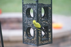 6/365/3658 (June 17, 2018) - Goldfinches at my Feeders, June 17th, 2018 (Saline Michigan) (cseeman) Tags: spring feeder birds michigan saline backyard goldfinches goldfinches06172018 2018project365coreys yearelevenproject365coreys project365 p365cs062018 356project2018