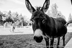 Farm (VinnieLangdonIIIPhotography) Tags: farm animals donkey jackass american flag patriotic nature greenery landscape white fence pets petfriendly llama alpaca sheep wool sunlit sunlight greenhouse abandoned old vintage vinnielangdoniii