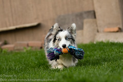 Shes Very Smart 1 (Kenjis9965) Tags: canoneos7dmarkii canon70200f28l cardigan welsh corgi adorable stumper catching toys outside playing warm blue merle canon eos 7d mark ii ef 70200mm f28l is usm action cute puppy pupper doggo luna