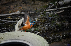 Kingfisher takes off with a small Flounder. (spw6156 - Over 6,560,030 Views) Tags: kingfisher takes off with small flounder copyright steve waterhouse