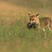 Vulpes vulpes (Agathe Laurent Photo) Tags: