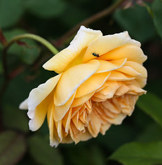 Rose (LuckyMeyer) Tags: rose english garden yellow makro green flower fleur plant