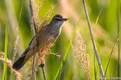 Great Reed Warbler (markus.jacobs1899) Tags: 300mm d500 insekten natur tele tiere vögel wildtiere nikon singvogel passeriformes drosselrohrsänger greatreedwarbler nature schilf reed frose bird