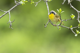 Common Yellowthroat (Geothlypis trichas) - Male
