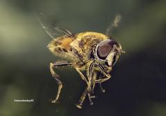 Eristalis horticola (stevenbailey7) Tags: honerflies syrphidae nature garden flies diptera naturephotography