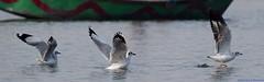 Takeoff lessons!! (ssaurabh17) Tags: seagull bird sanctuary kumbhargaon nature d5300 nikon 70300vr