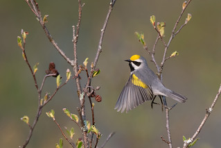 Golden-winged Warbler showing off his wings