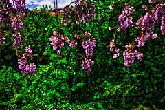 Bunches of perfume (Marco Trovò) Tags: marcotrovò hdr canon5d ameno novara piemonte italia italy wisteria glicine