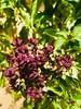 Bear the sun (sixline) Tags: smileonsaturday preciouspurple heat summer yanbu flower purple