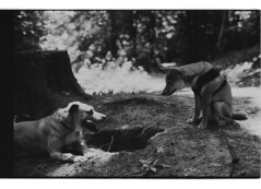 P62-2018-024 (lianefinch) Tags: argentique argentic analogique analog monochrome blackandwhite blackwhite bw bx noirblanc noiretblanc nb dogs dog shiba inu griffon play playing joue nature forêt forest