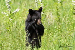 """Ain't I Cute?"" A black bear cub looks bashful in Cades Cove, Tennessee. Judy Royal Glenn Photography (Judy Royal Glenn Photography) Tags: 2018 cadescove gsmnp tennessee greatsmokymountainsnationalpark greatsmokymountains cadescovetennessee cadescovebears cadescovebear cadescoveloop nature naturephotography wildlife wildlifephotography blackbear blackbearcub blackbearcubs blackbears bear bears bearcub bearcubs christianphotographer lord judyroyalglennphotography judyroyalglenn"