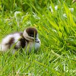 Paradise Ducks & Ducklings thumbnail