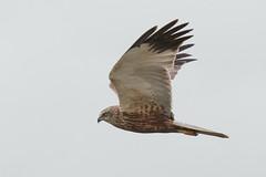 Marsh Harrier (Andrew_Leggett) Tags: marshharrier circusaeruginosus male birdofprey bird inflight nature natural wild wildlife hunter