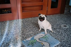 My favourite hiaopo! (eekiem) Tags: olympus mju2 kodakcolorplus200 tofu dog puppy pug pet home