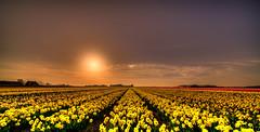 Dutch Daffodils. (Alex-de-Haas) Tags: 11mm adobe blackstone d850 dutch hdr holland irix irix11mm irixblackstone lightroom nederland nederlands netherlands nikon nikond850 noordholland photomatix beautiful beauty bloem bloemen bloementeelt bloemenvelden cirrus daffodil daffodils floriculture flower flowerfields flowers landscape landschaft landschap lente lucht mooi narcis narcissen polder skies sky spring sun sundown sunset zonsondergang