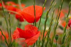 Spanish Poppys II (K&S-Fotografie) Tags: flower blooming blossom petal spring botanical floral flowers plant flora green summer beautiful red natural color closeup beauty blume makro