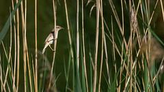 Phragmite (Alexandre LAVIGNE) Tags: hdpentaxdfa150450mm hdpentaxdaaf14xaw louisengival pentaxk3 joncs marais nature oiseau roseaux saintquentin picardiehautsdefrance