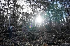 20180527-10-Up Mt Field East track (Roger T Wong) Tags: 2018 australia mtfield mtfieldeast np nationalpark rogertwong sel2470z sony2470 sonya7iii sonyalpha7iii sonyfe2470mmf4zaosscarlzeissvariotessart sonyilce7m3 tasmania bushwalk outdoors tramp trees trek walk