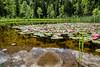 Seerosen im Schwansee (stefangruber82) Tags: alpen alps bavaria bayern water lilies lilypad see lake reflection spiegelung