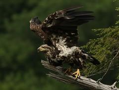 Immature Bald Eagle preparing for flight (Eric C. Reuter) Tags: nature wildlife ny catskills hancock somersetlake cabin peaseddyroad june 2018 060418 birds birding eagle baldeagle