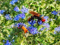 insect and wildflowers (panoskaralis) Tags: insect bee coloful flowers wildflowers plants wildplants outdoor green nature blue nikon nikoncoolpixb700