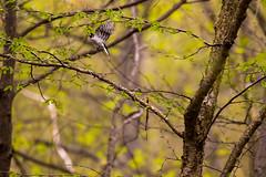 7K8A7980 (rpealit) Tags: sparta mountain wildlife management area downy woodpecker bird
