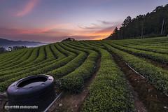 Dawn at Tea Plantation, 5th June, 2018. (grant1980:)) Tags: dawn taiwan tea plantation 茶園 日出