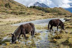 Mules grazing in a pond at Robluthang - Gasa District - Snowman Trek - Bhutan (PascalBo) Tags: nikon d500 asie asia southasia asiedusud drukyul drukgyalkhap bhutan bhoutan འབྲུག་ཡུལ། འབྲུག་རྒྱལ་ཁབ་ snowman trek trekking hike hiking lunana himalaya himalayas jigmedorjinationalpark gasa horse mule landscape paysage outdoor outdoors pascalboegli
