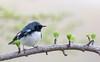 Black-throated blue warbler / Paruline bleue (Setophaga caerulescens) (Jean-Maxime Pelletier) Tags: blackthroatedbluewarbler parulinebleue setophagacaerulescens warbler wildlife bokeh