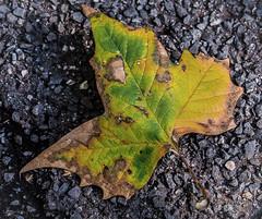 Of Autumn just passed (idunbarreid) Tags: leaf autumn colours