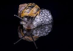 """Forever Blowing Bubbles"" (cjpk1) Tags: snail shell bubbles macro close up"