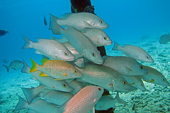 Gray snappers, Bonaire (Hawkfish) Tags: bonaire netherlandsantilles dutchcaribbean caribbean snorkeling underwater marinelife canonpowwershotg7xmarkii graysnapper snapper