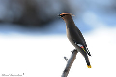 Bohemian Waxwing (Boreal Impressions) Tags: passeriformes bombycillidae waxwing silky shiny brown gray lemonyellow crest rakish black mask brilliantred wax droplets wings feathers bird animal outdoor bombycilla cedrorum flock northamerica elegant nest migration winter migratorybird canada calgary alberta ab yyc spring serene nikon birding birdsofcanada birdsofcalgary naturephotography bowriver wildlifeandnature wildlife wildlifephotography fauna prairie nature dailyhiveyyc capturecalgary sharecangeo parkscanada albertaparks flight snow closeup explorecanada sky river prairies tree grass wood macro