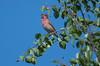 Scarlet Rosefinch (Tim Melling) Tags: carpodacus erythrinus common scarlet rosefinch grosbeak sweden male singing song timmelling