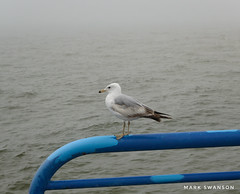 Brave Seagull (mswan777) Tags: white gray blue 1855mm nikkor d5100 nikon nature outdoor stjoseph fog coast shore seascape water seagull lakemichigan lighthouse pier steel rail feather bird