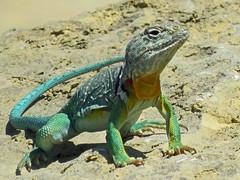 IMG_0155 (lbj.birds) Tags: kansas nature flinthills wildlife lizard collaredlizard easterncollaredlizard