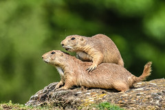 Now you will feel a click but that is totally normal (Paul Wrights Reserved) Tags: prairiedog prairiedogs cute work therapy massage backmassage bokeh soothing relax relaxing mammal mammals dog dogs