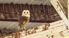 Barn Owl in a barn (Bob Gunderson) Tags: barnowl birds california dysonlane northerncalifornia owls plumascounty sierras tytoalba