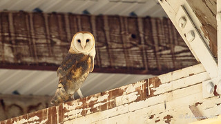 Barn Owl in a barn