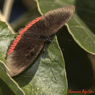 Mariposa Alas Sangrantes