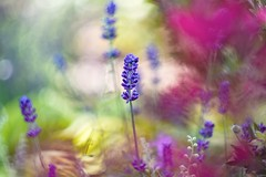 Lavender garden. (agnieszka.a.morawska) Tags: flowers flower summer bokehlicious beyondbokeh bkhq bokeh helios44m helios garden lavender