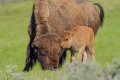 Love You Mom (Amy Hudechek Photography) Tags: bison calf reddog baby wildlife nature mother love yellowstone national park ynp amyhudechek