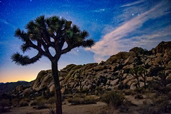 Joshua Tree Nights (campmusa) Tags: nationalpark california californiastate hardscape plants yuccabrevifolia yucca palmtree mojavedesert joshuatreenationalpark evergreenleaves fruit desert spikytree usnationalpark hiddenvalley