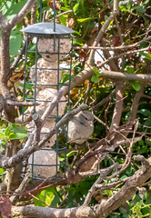 House Sparrow - Garden Visitors to the Feeders (2.2 mil views - Thank you all.) Tags: johnstown wales unitedkingdom gb stanleyeastwood staneastwood birds garden feeder woodpecker bluetit starling camouflage