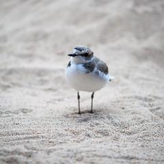 Are we losing you? (phoca2004) Tags: bird captive charadriusalexandrinus d90 montereybay montereybayaquarium montereycounty nikon snowyplover nonreleasable monterey california